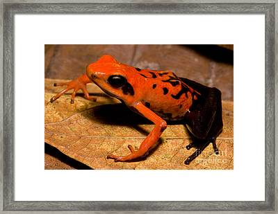 Silverstones Poison Frog Framed Print by Dant� Fenolio
