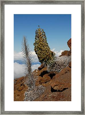 Silversword On Haleakala Framed Print by Scott Massey