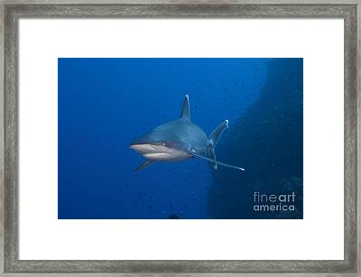Silvertip Shark, Kimbe Bay, Papua New Framed Print