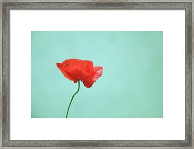 Simple Red Poppy On Turquoise Blue Framed Print by Poppy Thomas-Hill