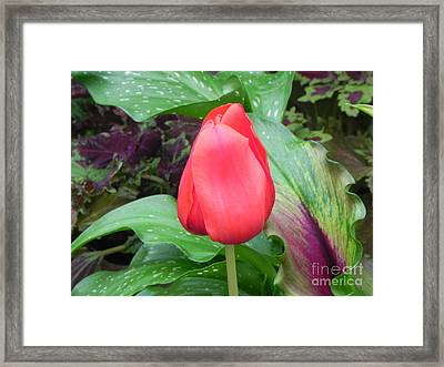 Simple Red Tulip Framed Print by Sandy Owens