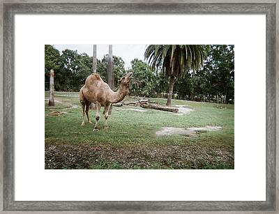 Singing Camel Framed Print by Val Oconnor