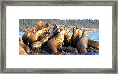 Singing Sea Lions Framed Print by Derek Holzapfel