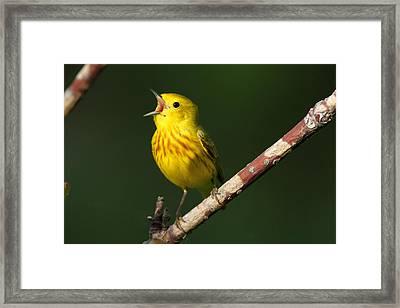 Singing Yellow Warbler Framed Print by Doug Lloyd