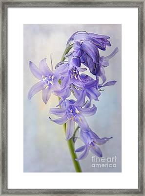 Single Bluebell Framed Print by Ann Garrett