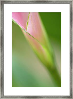 Single Calla Lily Framed Print by Carolyn Dalessandro