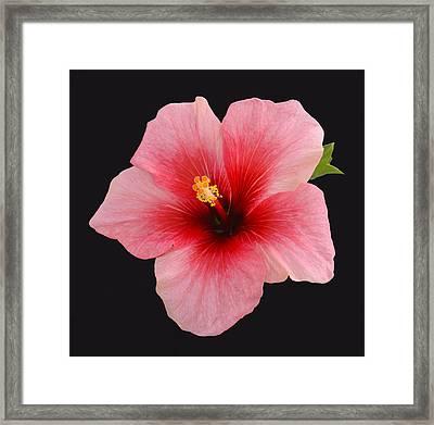 Single Hibiscus Flower On A Black Background Framed Print