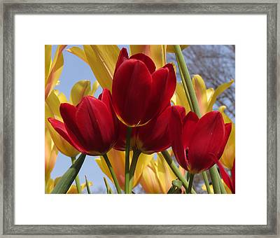Framed Print featuring the photograph Single Late Red Georgette by Darleen Stry