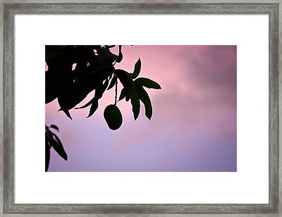 Single Mango On A Tree At Twilight Framed Print by Anya Brewley schultheiss
