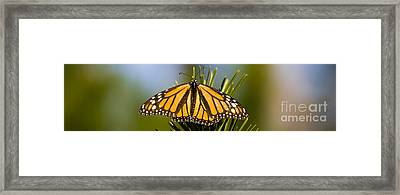 Single Monarch Butterfly Framed Print by Darcy Michaelchuk