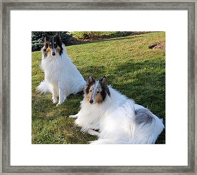 Sitting Pretty Collie Dogs Framed Print by Kay Novy