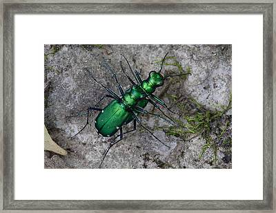 Six-spotted Tiger Beetles Copulating Framed Print by Daniel Reed