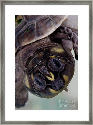 Six-tubercled River Turtle Framed Print by Dant� Fenolio