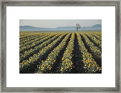 Skagit Valley Daffodils Framed Print