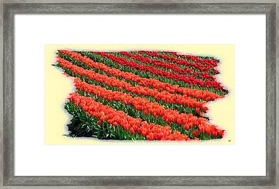 Skagit Valley Tulips 7 Framed Print by Will Borden