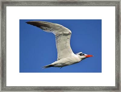 Skimmer In Flight Framed Print by Paulette Thomas