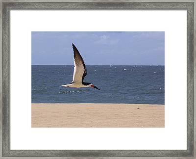 Skimmer In Flight Framed Print