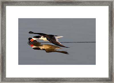 Skimming Run Framed Print by Phil Lanoue