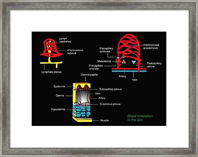 Skin Blood Supply, Artwork Framed Print by Francis Leroy, Biocosmos