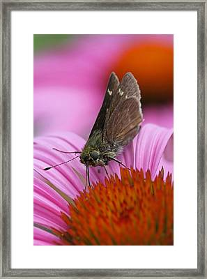 Skipper Moth Macro Photography Framed Print by Juergen Roth