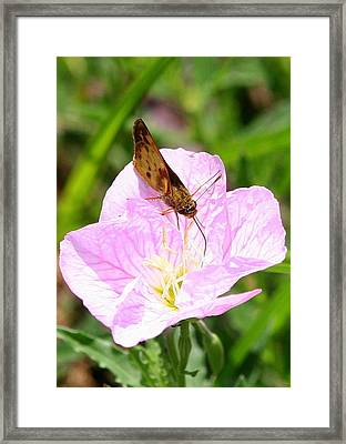 Framed Print featuring the photograph Skipper On A Primrose by Paula Tohline Calhoun