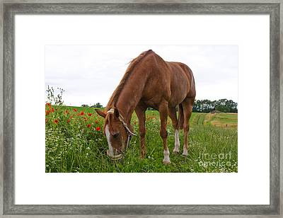 Skipy In The Poppy Field Framed Print by Angela Doelling AD DESIGN Photo and PhotoArt