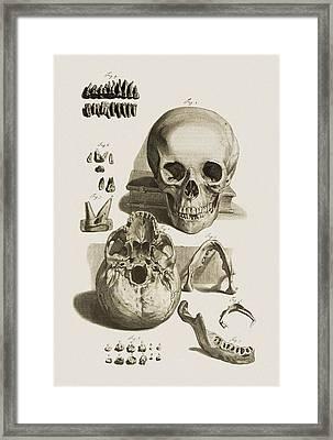 Skull, Jaw Bone And Teeth Framed Print by Mehau Kulyk