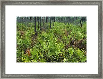 Slash Pines And Saw Palmettos Framed Print by Klaus Nigge