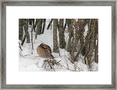 Sleeping Grouse On Snow Framed Print