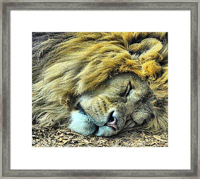 Sleeping Lion Framed Print by Chris Thaxter
