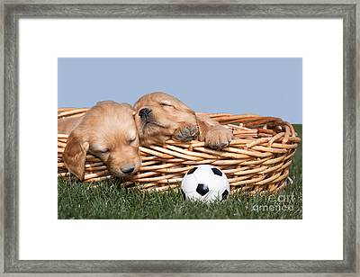 Sleeping Puppies In Basket And Toy Ball Framed Print by Cindy Singleton
