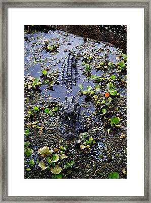 Sleepy Alligator Framed Print by Luis and Paula Lopez