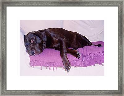 Sleepy Chocolate Labrador Hooch Framed Print
