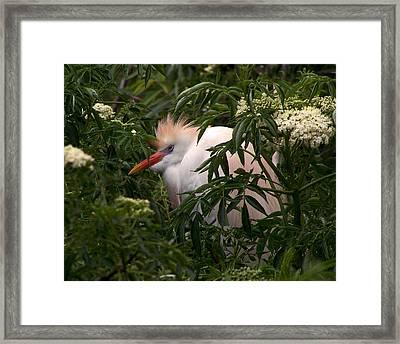 Sleepy Egret In Elderberry Framed Print
