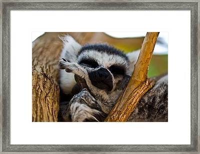 Sleepy Lemur Framed Print by Justin Albrecht