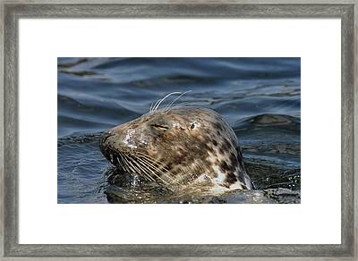 Sleepy Seal Framed Print