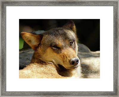 Framed Print featuring the photograph Sleepy Wolf by Charles Lupica