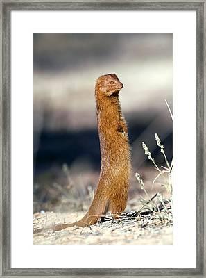 Slender Mongoose Framed Print by Tony Camacho
