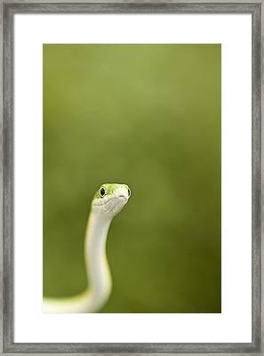 Slithery Curiosity Framed Print by David Paul Murray