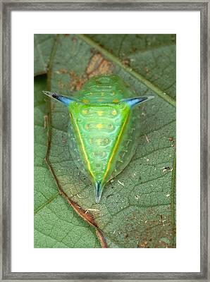 Slug Caterpillar In French Guiana Framed Print by Mark Moffett