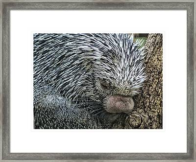 Framed Print featuring the photograph Slumbering Porcupine  by Yvonne Emerson AKA RavenSoul