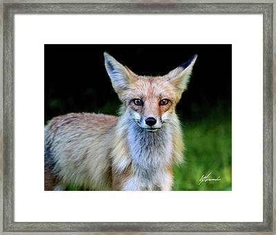 Sly Framed Print by Sarah  Lalonde