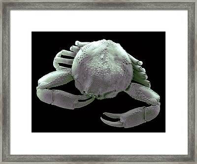 Small Asian Crab, Sem Framed Print by Steve Gschmeissner