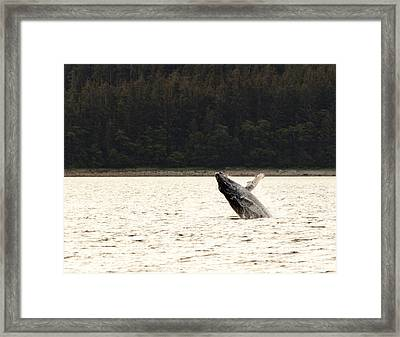 Small Breaching Whale Framed Print by Darcy Michaelchuk