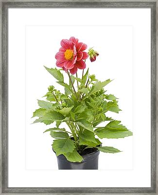 Framed Print featuring the photograph Small Flower In A Small Pot by Aleksandr Volkov