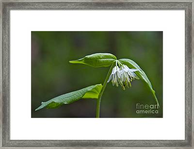 Small-flowered Fairy Bell Framed Print by Sean Griffin