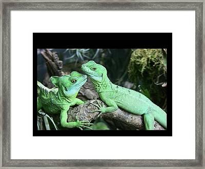 Small Iguanas Stirnlappenba Framed Print by Rolf Bach