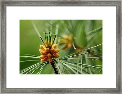Small Male Cones On A Pine Tree Framed Print by Darlyne A. Murawski