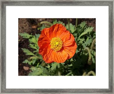 Small Orange Poppy Framed Print
