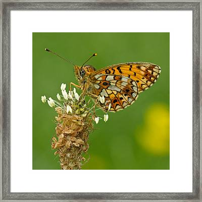 Small Pearl-bordered Fritillary Framed Print by Anne Sorbes